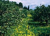 Orchard of Lemon and Orange Trees