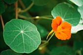 Kapuzinerkresse mit Blüte (aussen)