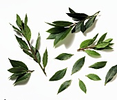 Fresh bay leaves and twigs