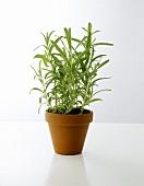 A pot of tarragon