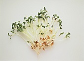 Fresh garden cress (with roots)