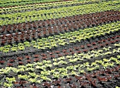 Assorted Lettuce Growing in a Field