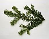 Pine branch against white background