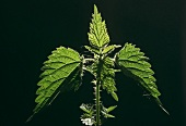 Nettle against black background
