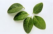 Five periwinkle leaves (Vinca minor)