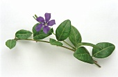 A sprig of periwinkle with flower