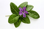 Periwinkle - plant with flower (from above)