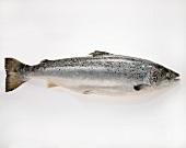 A salmon