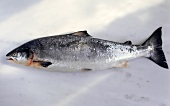 A wild salmon on marble background