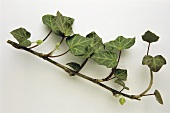 A branch of ivy (Hedera helix)