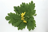 Greater celandine leaves and flowers