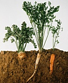 Celeriac, parsley, carrot (in soil, root and leaves visible)