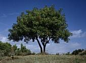 Bay tree (outdoors)