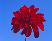 Red dahlia against sky-blue background