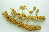 Two millet ears and millet grains (Setaria italica)