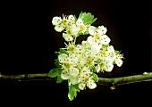 Hawthorn blossom on branch against black background