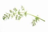 Ein Zweig Wild-Kümmelkraut (lat. Carum cavi)