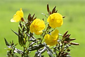 Evening primrose, stalks with leaves & flowers (outdoors)