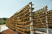 Harvested Riesling Grapes Hanging to Dry; In Greece