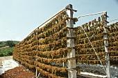 Trauben hängen auf Trockengestellen; Griechenland