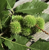Edelkastanien (Maroni) am Zweig auf Holzuntergrund