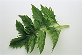 Frischer Baldrianzweig mit Blättern