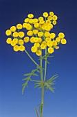 Tansy (Tanacetum vulgare) flower stalk