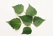 Six birch leaves (Betula pendula) on white background