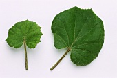 Two coltsfoot leaves (Tussilago farfara)