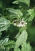 Heilkräuter: Herzgespann, Pflanze mit Blüte (aussen)