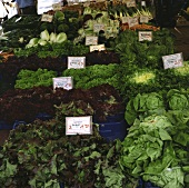 Many different lettuces on a market stall