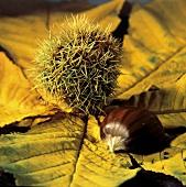 Eine Esskastanie auf einem Kastanienblatt
