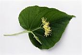 Eine Lindenblüte auf einem Lindenblatt