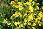 Blühende Johanniskrautpflanze (Hypericum perforatum)