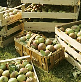 Crates fo Freshly Picked Apples