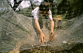 A Many Harvesting Olives