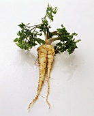 Parsley root with parsley on white background
