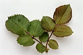 Two sprigs of rose leaves