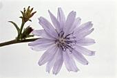 Wild Chicory Flower