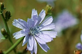 Flowers of the wild chicory (outdoors)
