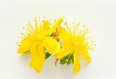 Two St. John's wort flowers