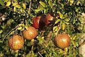Granatäpfel am Baum (aussen)