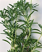 Close Up of Winter Savory