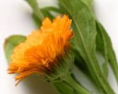 Close Up of a Marigold