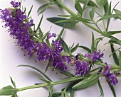 Fresh Hyssop with Blossoms
