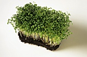 Cress plant with soil