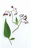 Woody nightshade (Solanum dulcamara) flowers and leaf