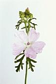 Flowers of the musk mallow (Malva moschata)