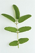 Great burnet (Sanguisorba officinalis), sprig with leaves