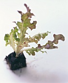 Small oak leaf lettuce plant with soil